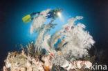 zwart koraal (Antipathes dichotoma)