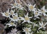 Edelweiss (Leontopodium alpinum)