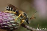 Zesbandgroefbij (Halictus sexcinctus)