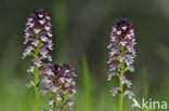 Aangebrande orchis (Neotinea ustulata)