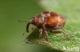 Coeliodes transversealbofasciatus