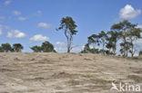 Grove den (Pinus sylvestris)
