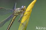 Plasrombout (Gomphus pulchellus)