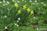 Wilde narcis (Narcissus pseudonarcissus)