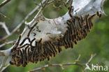 Wolspinner (Eriogaster lanestris)