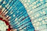 Zomerlinde (Tilia platyphyllos)