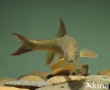 Barbeel (Barbus barbus)