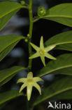 climbing ilang-ilang (Artabotrys hexapetalus)
