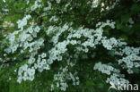 Eenstijlige meidoorn (Crataegus monogyna)