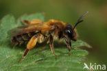 Eikenzandbij (Andrena ferox)