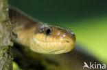 Esculaapslang (Zamenis longissimus)