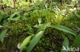 Pluimstaartmos (Rhytidiadelphus triquetrus)