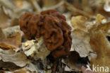 Voorjaarskluifzwam (Gyromitra esculenta)