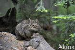 Wilde kat (Felis silvestris)