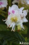 Witte paardenkastanje (Aesculus hippocastanum)