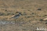 Woestijnplevier (Charadrius leschenaultii)
