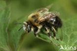Zwarte sachembij (Anthophora retusa)