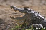 Krokodil (Crocodylus spec.)