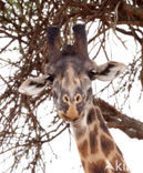 Masai giraffe (Giraffa camelopardalis tippelskirchi)