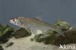 Serpeling (Leuciscus leuciscus)