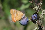 Sleedoornpage (Thecla betulae)