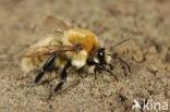 Moshommel (Bombus muscorum)