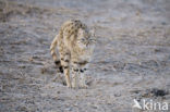 Aziatische wilde kat (Felis silvestris ornata)