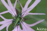 Fraaie Schijnboktor (Oedemera nobilis)