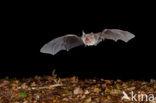 Bechsteins vleermuis
