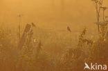 Kneu (Carduelis cannabina)