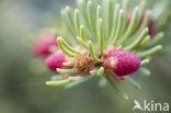 Spar (Picea)