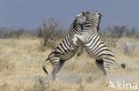 Zebra (Equus spp)