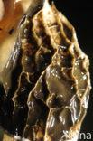 Grote stinkzwam (Phallus impudicus)