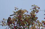 Kramsvogel (Turdus pilaris)