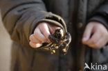Europese rivierkreeft (Astacus astacus)