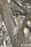 Groene meerkat (Chlorocebus sabaeus)