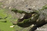 Nijlkrokodil (Crocodylus niloticus)