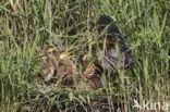 Purperreiger (Ardea purpurea)