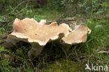 Trechtertaaiplaat (Lentinus conchatus)