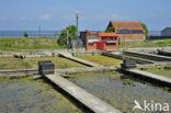 Europese platte oester (Ostrea edulis)
