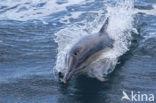 Gewone Dolfijn (Delphinus delphis)