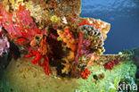 Hard koraal