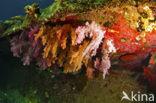 Hemprichs zacht koraal (Dendronephthya hemprichi)