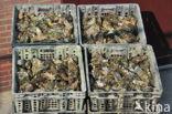 Japanese Oyster (Crassostrea gigas)