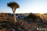 Kokerboom (Aloe dichotoma)