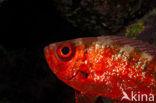 Blotcheye soldierfish (Myripristis murdjan)