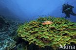 Slakoraal (Agaricia agaricites)