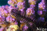 Zaagtandzeester (Oligometra serripinna)