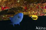 Blauwe Trekkervis (Pseudobalistes fuscus)
