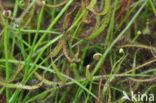 Fork-leaved sundew (Drosera binata var. dichotoma)